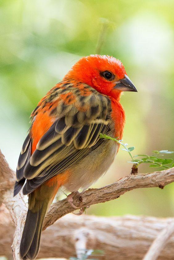 ËšRed Fody #exoticbirds
