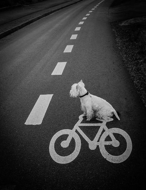 Chien Blanc et Vélo sur Route:
