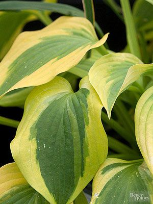 Hosta, and other hardy perennials