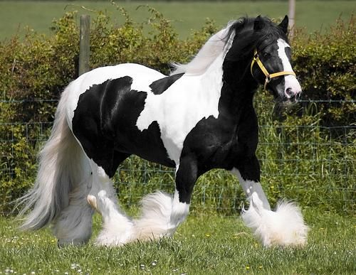 paint clydesdale - photo #8
