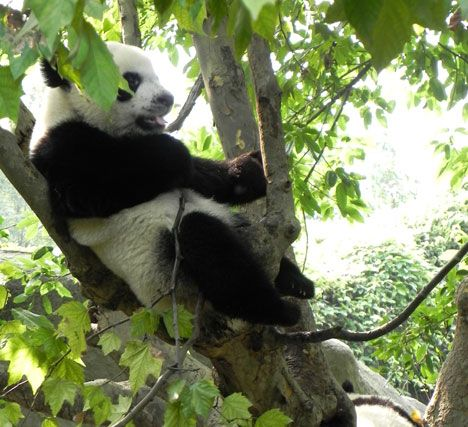 Giant Pandas | Chengdu Research Center. I'm so tired, need a little rest.... :-)