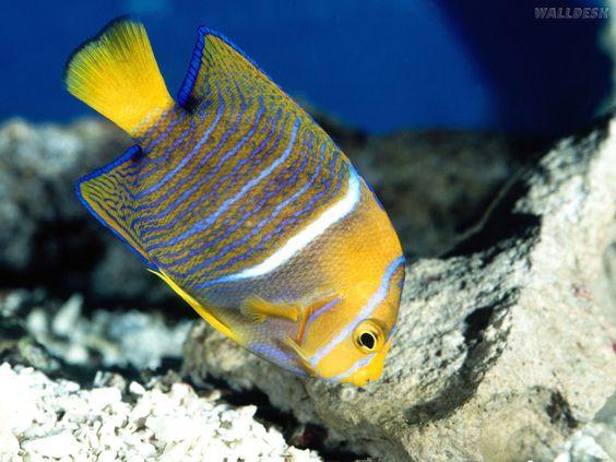 peixes coloridos -