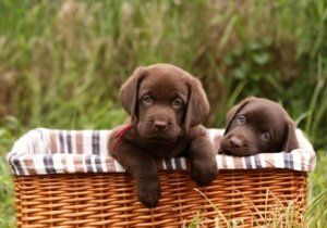 a chocolate lab for Valentine Day