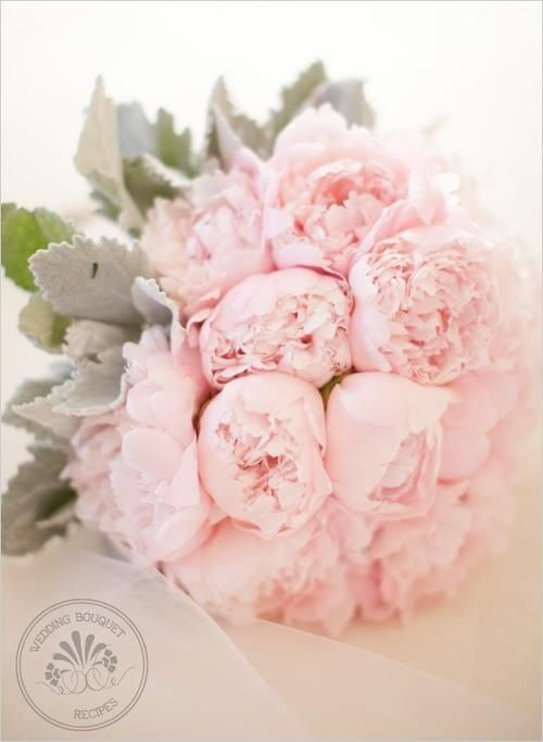 Pink peonies and dusty miller to make a simple blush bouquet