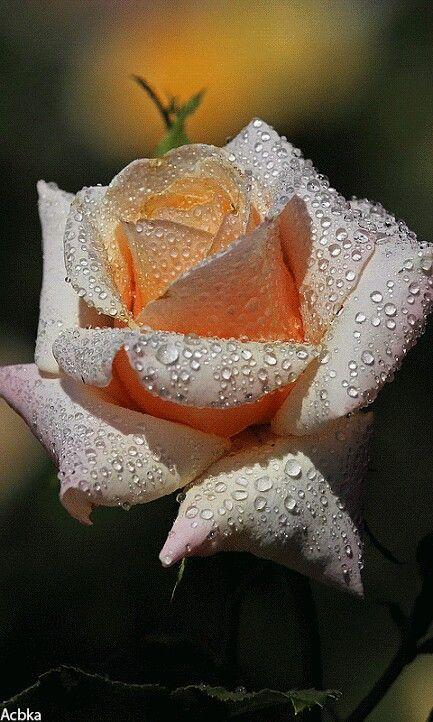 Que rosa