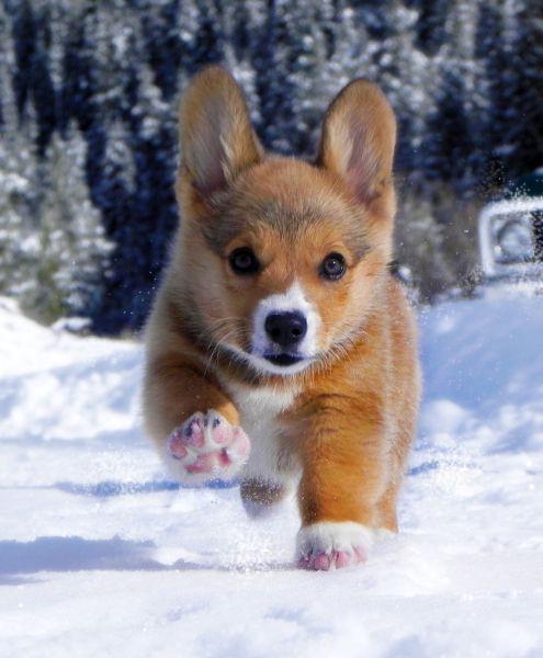 snow corgi