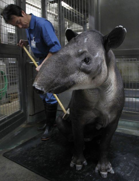 """A zookeeper brushes the back of a baird's tapir, an endangered species, inside her enclosure at the Preservation and Research Center in Yokohama, south of Tokyo October 25, 2010. The facility, which is located at the breeding zone of Yokohama Zoological Gardens, is closed to the public to allow selected endangered species to breed in the most suitable environments and to study the endangered animals, according to the center.""  REUTERS/Yuriko Nakao"