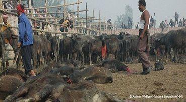 We urge Nepal to end the animal massacre of Gadhimai ! Pleas... - Care2 News Network