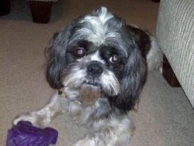 Prince  Missing from Pensacola Florida Shihtzu approx 9 years old   intact male  call 618-713-9216 if you know his whereabouts!