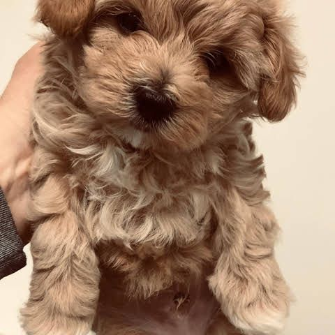 Cathys Maltese Teacup Apricot Maltipoo Maltese Puppy For Sale Apricot Maltipoo Breeder Puppy For In 2020 Miniature Dogs Maltese Puppies For Sale Maltese Puppy