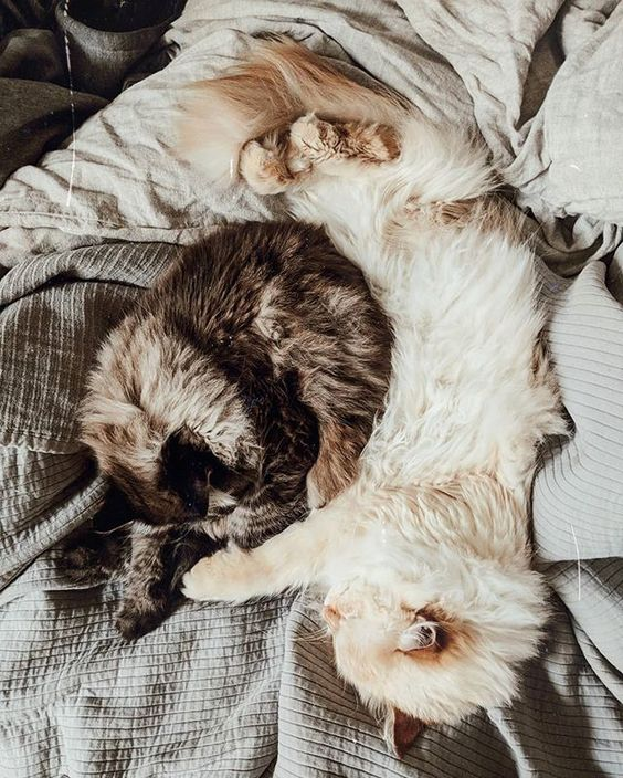 Jeden Morgen stehe ich auf und sehe wie die Katzen ineinander gekuschelt tief und fest schlafen bis sie mittags irgendwann Hunger haben und nach essen verlangen. Was wär ich manchmal gerne eine katze... I wish I was a cat sometimes... #nevamasquerade #siberiancat #catsofig #sofluffy #inbed