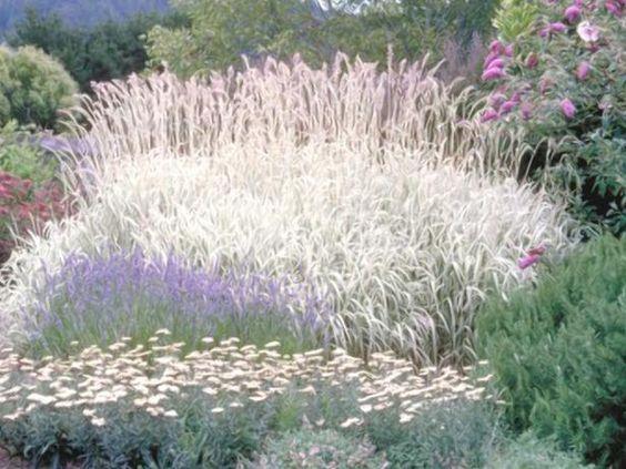Ornamental grasses landscaping dividing ornamental for Wild ornamental grasses