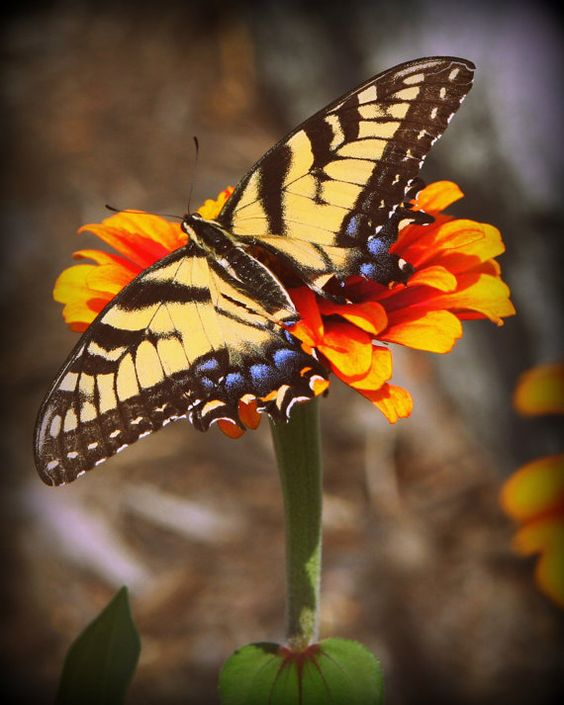 The third offering in my set of butterfly photos, this one is $6.00.