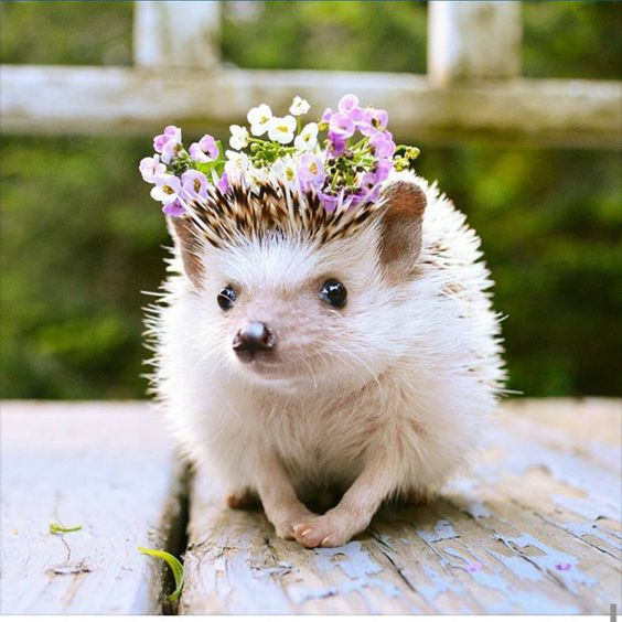 @cora.whaley #africanpygmyhedgehog #hedgehog #instahedgies #hedgehogsofinstagram