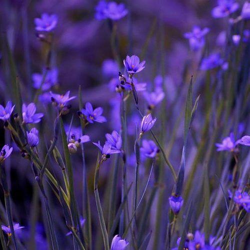 Purple Wildflowers Purple Wildflowers Wild Flowers Purple