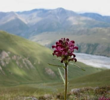 Lousewort, in Arctic National Wildlife Refuge