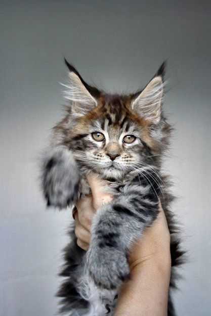 Maine Coon Cat - my favourite of all cat breeds. They're like dogs and grow to huge sizes.
