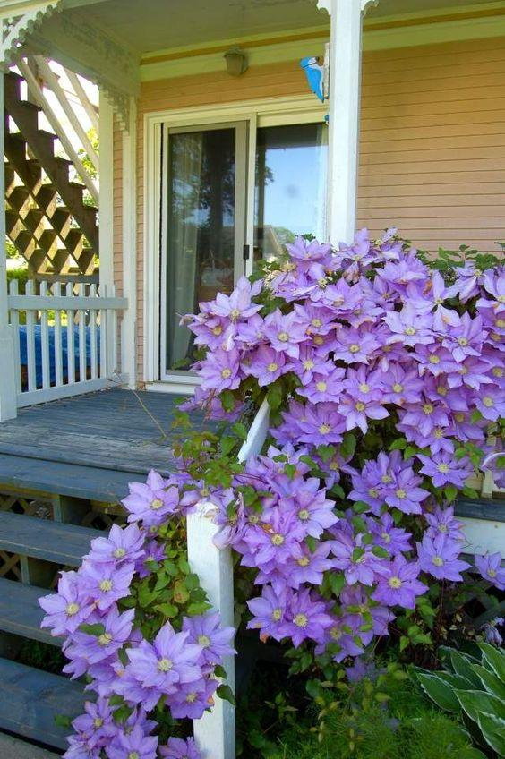 clematis pflegen veranda treppen geländer ranken