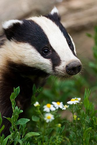 """Badger Portrait - Surrey, UK When we lived in """"Badgers Walk"""" in Surrey, we used to feed the badgers in our garden each evening.  It was wonderful to watch them close up."""
