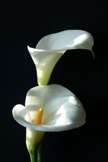 Calla lillies are just gorgeous. My favourite flower <3