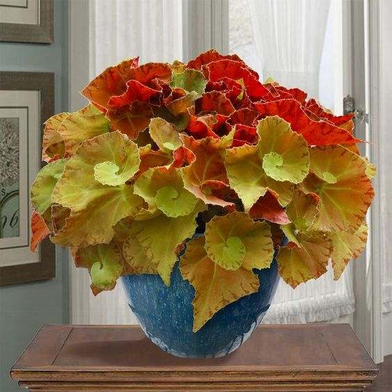 Begonia 'Martha Stewart' (Begonia rhizomatous hybrid)