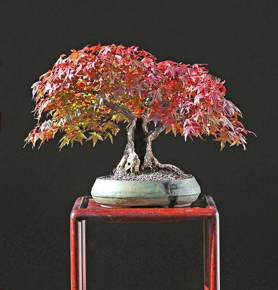 Japanese Maple Bonsai | Bonsai | Pinterest | Super, Galerien Und Bäume Basiswissen Bonsai Baum Arten Pflege