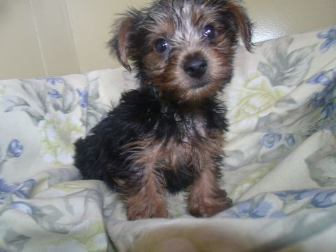Yorkshire Terrier Puppy For Sale In Paterson Nj Adn 65298 On Puppyfinder Com Gender Male Age 10 Weeks Old Yorkshire Terrier Puppies