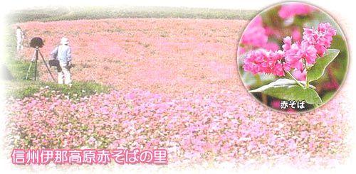 赤そば畑の画像