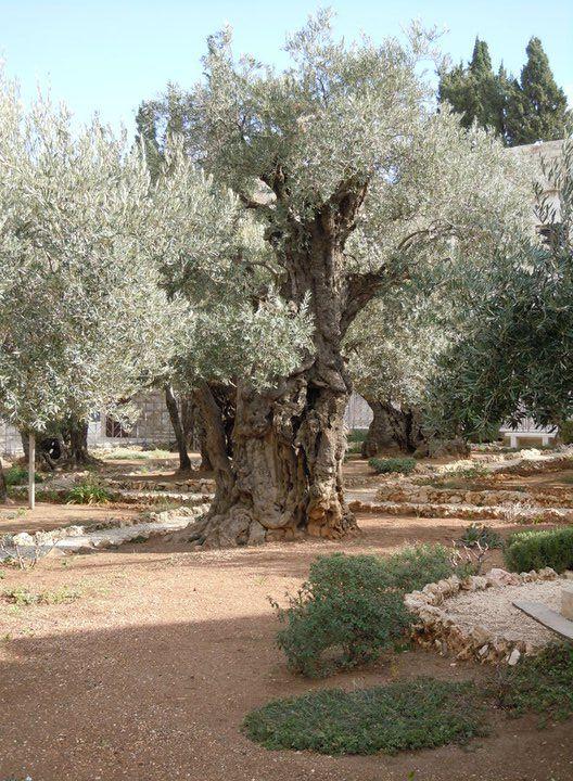 Olajfák hegye - Az utolsó vacsora után Jézus vezette tanítványait a Gecsemane kertjébe, és kérte őket, hogy figyeljenek imádkozás közben.