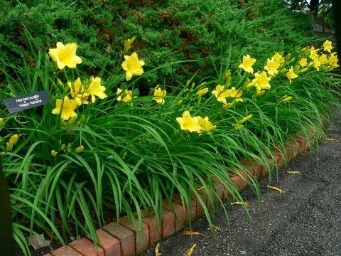 Pin By Tova Weis On Wang Zhou Plan Day Lilies Daylily Garden Longfield Gardens