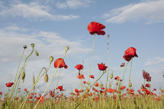 love the poppies against blue sky