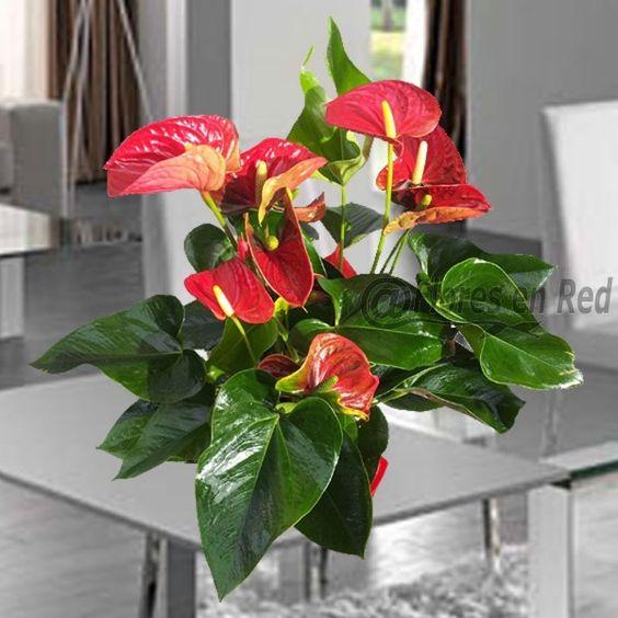 Anthurium una hermosa planta con flores rojas y hojas for Plantas verdes de interior