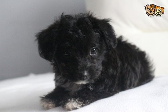 Fluffy 9 Week Old Female Jack Russell Poodle Mix In 2020