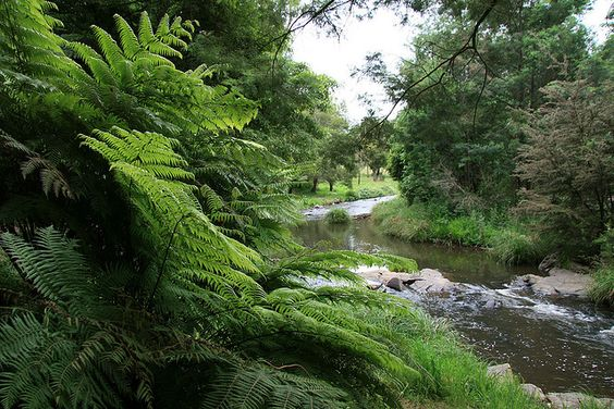 Ferns on the banks of the Yarra River at Warburton