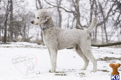 Poodle Stud Dog Winstons Dandy Boy 4 Years Old In 2020 Stud Dog Poodle Dogs