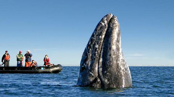 Migración de la ballena Gris en Bahía Magdalena, Baja California Sur, México.