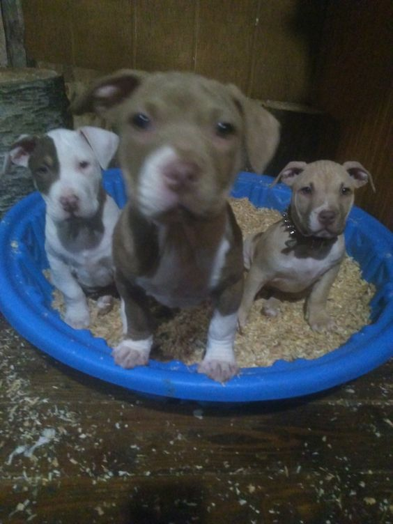 For Sale With Images Pitbulls Brindle Pets