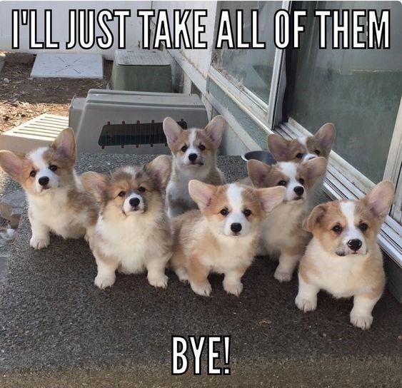 20 Corgi Memes To Make You Wonder What Did We Do To Deserve Them Cute Baby Animals Cute Corgi Puppy Cute Animals