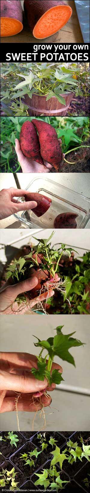 Fiche pratique faire germer une patate douce - Comment cultiver la patate douce ...