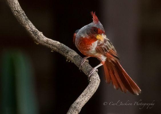 Desert Cardinal.....