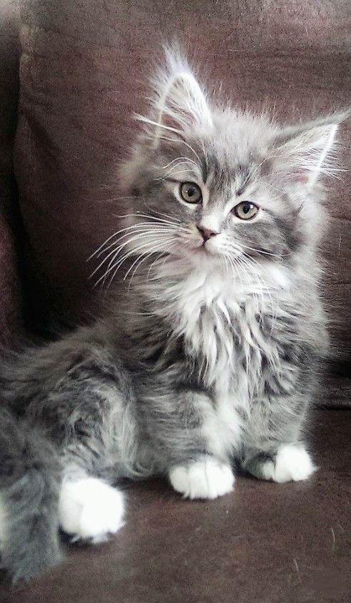 Chat Cat Baby Gris Grey Mignon Kitten Chaton Cute Cats And Kittens Kittens Cutest Cute Cats