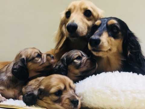 Minature Long Hair Dachshunds Dachshund Dog Dachshund Puppies