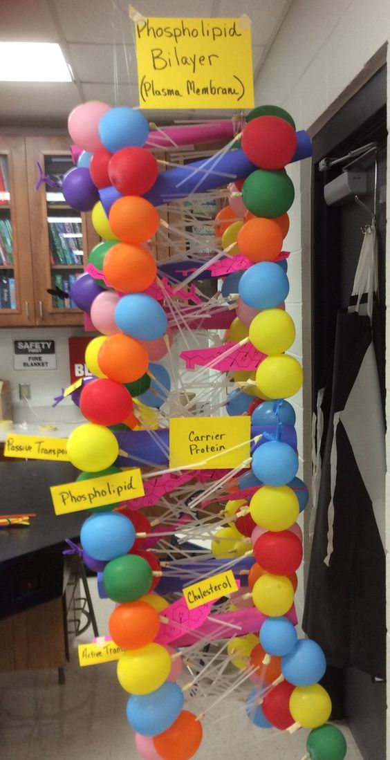 This is a class project we did to learn about the plasma membrane and its parts. The phospholipids were made of a balloon, two straws and masking tape to hold the tails onto the balloon. They were tied together on fishing string, glued together with rubber cement, then hung from the ceiling. The other parts were cut from heavy paper.: