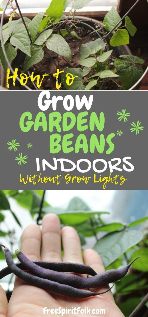How To Grow Garden Beans Indoors Seed To Harvest Without Grow Lights Even During The Winter Growing Green Beans Growing Beans Organic Gardening Pest Control