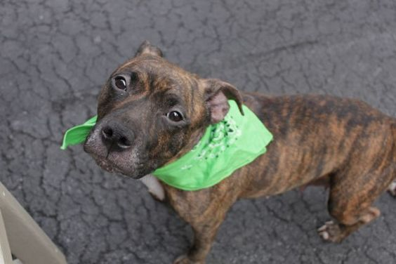 Manhattan Center BREE aka CHOCOLATE – A1069030 ***sSAFER : AVERAGE HOME*** FEMALE, BR BRINDLE / WHITE, AM PIT BULL TER MIX, 1.5 yrs STRAY – STRAY WAIT, NO HOLD Reason STRAY Intake condition UNSPECIFIE Intake Date 03/31/2016, From NY 10456, DueOut Date 04/03/2016,