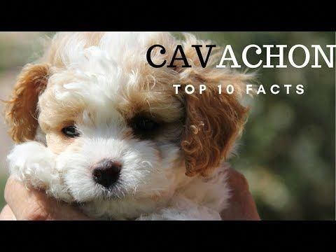 Cavalier King Charles Spaniel Graceful And Affectionate King Charles Cavalier Spaniel Puppy Cavalier King Charles Spaniel King Charles Spaniel