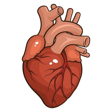 Vector Illustration Of A Human Heart Isolated On A White Background Human Heart Human Heart Art Heart Anatomy Drawing
