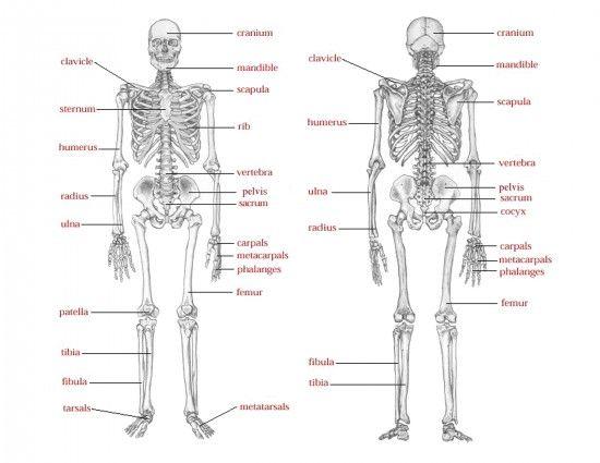Bone anatomy game
