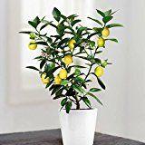 Arbre De Citrus Citronnier 1 Arbre Graines D Arbres Arbre De Jardin Et Ficus Elastica