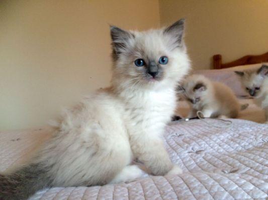 Ragdoll Kittens Blue Mitted Lilac Ragdoll Kitten Ragdoll Cat